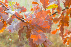Oak branch with yellow leaves covered with rime Royalty Free Stock Photography