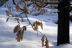 Oak branch with yellow-orange leaves covered snow. Oak branch with yellow-orange leaves covered with snow. Photographed in winter close-up Stock Photography