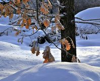 Oak branch with yellow-orange leaves covered snow. Oak branch with yellow-orange leaves covered with snow. Photographed in winter close-up Stock Photo