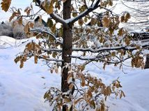 Oak branch with yellow-orange leaves covered snow. Oak branch with yellow-orange leaves covered with snow. Photographed in winter close-up Stock Photos