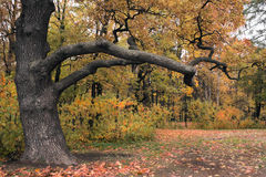 Oak branches-2. Mighty branches of an old oak in a park Stock Image
