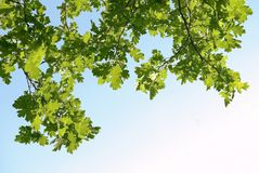 Oak branches Royalty Free Stock Images