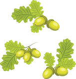 Oak branches with acorns. Illustration Stock Image