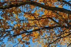 Oak branches with autumn colored leaves close-up. yellow, red, green autumn leaves.  royalty free stock photography