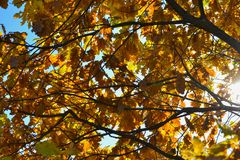Oak branches with autumn colored leaves close-up. yellow, red, green autumn leaves against the blue sky. Oak branches with autumn colored leaves close-up stock photo