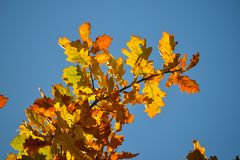 Oak branches with autumn colored leaves close-up. yellow, red, green autumn leaves against the blue sky. Oak branches with autumn colored leaves close-up stock photography