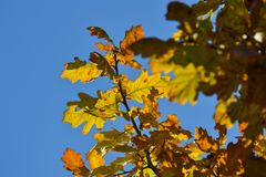 Oak branches with autumn colored leaves close-up. yellow, red, green autumn leaves against the blue sky. Oak branches with autumn colored leaves close-up royalty free stock image