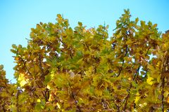 Oak branches with autumn colored leaves close-up. yellow, red, green autumn leaves against the blue sky. Oak branches with autumn colored leaves close-up stock images