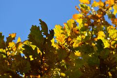 Oak branches with autumn colored leaves close-up. yellow, red, green autumn leaves against the blue sky. Oak branches with autumn colored leaves close-up stock image