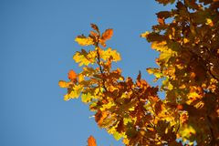Oak branches with autumn colored leaves close-up. yellow, red, green autumn leaves against the blue sky. Oak branches with autumn colored leaves close-up royalty free stock photo