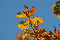 Oak branches with autumn colored leaves close-up. yellow, red, green autumn leaves against the blue sky. Oak branches with autumn colored leaves close-up stock photos