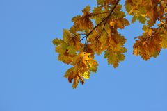 Oak branches with autumn colored leaves close-up. yellow, red, green autumn leaves against the blue sky. Oak branches with autumn colored leaves close-up royalty free stock photos
