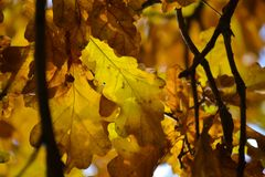 Oak branches with autumn colored leaves close-up. yellow, red, green autumn leaves.  royalty free stock images