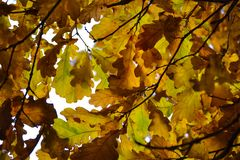 Oak branches with autumn colored leaves close-up. yellow, red, green autumn leaves.  royalty free stock photo