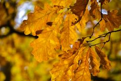 Oak branches with autumn colored leaves close-up. yellow, red, green autumn leaves.  stock photo