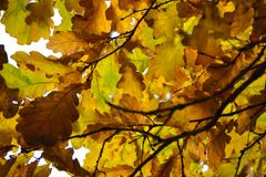 Oak branches with autumn colored leaves close-up. yellow, red, green autumn leaves.  royalty free stock image