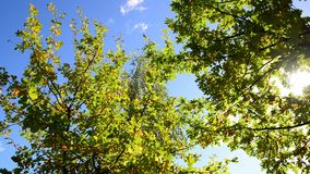Oak branches on the background of sky in early autumn stock footage