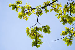 Oak branches. Fresh early spring green oak branches against clear blue sky Royalty Free Stock Photo