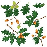 Oak branches with leaves and acorns Royalty Free Stock Photography
