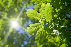Oak branches shined with the sun Stock Photo