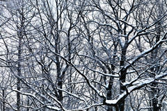 Oak branches under snow Royalty Free Stock Photo