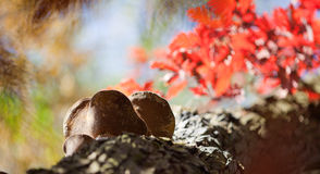 Oak with burls. Burls on the oak among red leaves. Colorful background Stock Image