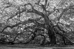 Oak Canopy Royalty Free Stock Photo