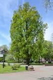 Oak chereshchaty pyramidal, Quercus robur L., grows in the square. Kaliningrad. Oak chereshchaty pyramidal Quercus robur L. grows in the square. Kaliningrad Stock Image
