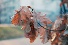 Oak in cold day Royalty Free Stock Photography