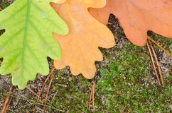Oak colorful fall leaves Stock Images
