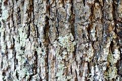 Oak cortex closeup, texture Royalty Free Stock Images