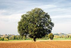 Oak in countryside Stock Photos