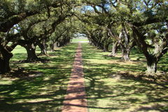 Oak covered path color. Walkway of a new orleans plantation Royalty Free Stock Photos