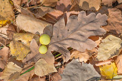 Oak dry leaf. Dry oak leaves on the ground for background Royalty Free Stock Photo