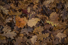 Oak dry leaves in the forest. Royalty Free Stock Image