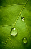Oak eaf and drop, shallow dof Stock Photos