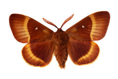 The Oak Eggar Stock Photo