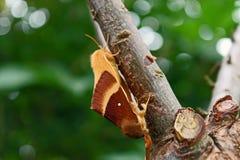 Oak eggar Lasiocampa quercus mating stock photo