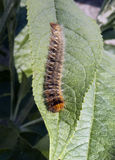 Oak Eggar Moth caterpillar,  Lasiocampa quercus on Buddleia leaf Stock Images