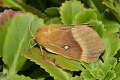 Oak Eggar Moth Stock Photo