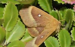 Oak Eggar Moth Royalty Free Stock Images