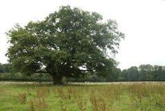 Oak, Eik, Quercus royalty free stock photography