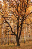 An oak in an environment of young birches. Autumn forest. An oak in an envi-ronment of young birches Royalty Free Stock Image