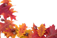 oak för ekollonramleafs Royaltyfri Fotografi