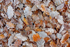 Oak Fall Foliage Stock Images