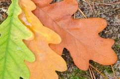 Oak fall leaves Royalty Free Stock Photography