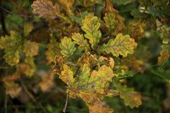 Oak fall colors royalty free stock photos