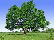 Oak on field Royalty Free Stock Images