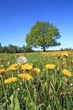 Oak on field Stock Photography