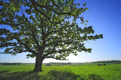 The oak in the field. Royalty Free Stock Images